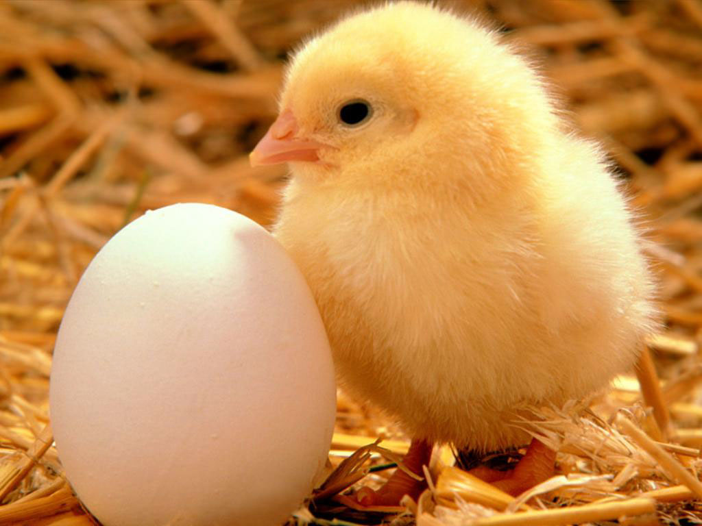 Huevo y Pollo La Semilla de la Vida